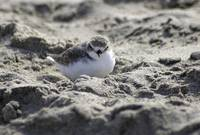 Snowy Plover at rest
