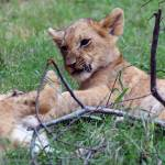 """""""Sparring Lion Cubs"""" by KatRosePhotography"""