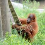 """""""Young Orangutan at Play"""" by KatRosePhotography"""