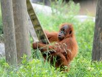 Young Orangutan at Play