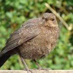"""Fledgling Blackbird"" by NatureandWildlife"