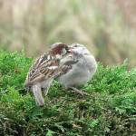 """Sparrows-Feeding Time"" by NatureandWildlife"