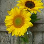 """Sunflowers in a Mason Jar, Dee Oberle"" by GypsyChicksPhotography"