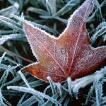 """239 Frozen Leaf"" by willphoto"