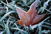 239 Frozen Leaf