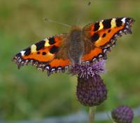 Small Tortoiseshell on Thistle
