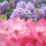 """Rhododendron Garden art print Pink Purple Rhodies"" by BasleeTroutman"