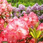 """Rhodies Botanical Floral Summer Garden art prints"" by BasleeTroutman"