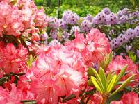 Rhodies Botanical Floral Summer Garden art prints