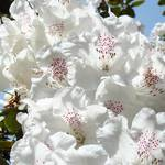 """Floral art prints White Pink Rhododendrons Baslee"" by BasleeTroutman"