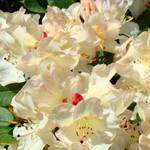 """Summer Rhododendrons Floral art prints Baslee"" by BasleeTroutman"