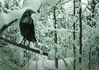 Raven in Snowy Thicket