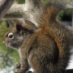 """""""Mountain Grey Squirrel ... Img_1701"""" by garytrentPHOTOGRAPHYcdn"""