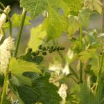 """Baby wine grape bunches_12"" by SBCountyImages"