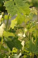 Baby wine grape bunches_12