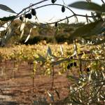 """WineCountry_OliveTree_22"" by SBCountyImages"