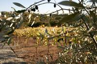 WineCountry_OliveTree_22