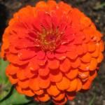 """another orange zinnia"" by barefootandupsidedown"