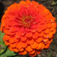another orange zinnia