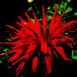 """Red Monarda"" by barefootandupsidedown"