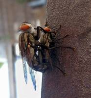 Big Fly Procreation