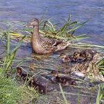 """The Mallard Family"" by NatureandWildlife"