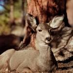 """""""Mule Deer Doe"""" by EricGlaser"""