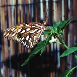 """""""Butterfly 5 Tiger Brown"""" by Ricardos"""