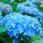 """Hydrangeas Flower art prints Floral Garden"" by BasleeTroutman"