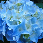 """Beautiful Summer Blue Hydrangeas Floral"" by BasleeTroutman"