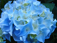 Beautiful Summer Blue Hydrangeas Floral