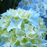 """Unique Nature Floral Blue Hydrangeas art prints"" by BasleeTroutman"