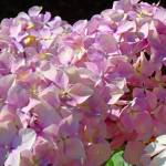 """Pink Hydrangea Floral Blossoms"" by BasleeTroutman"