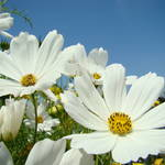 """""""DAISY Flowers art prints White Daisies"""" by BasleeTroutman"""