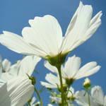 """White Daisy Flowers art prints Daisies Garden"" by BasleeTroutman"