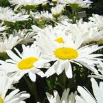 """Blue Sky Floral art print Daisy Flowers White Dais"" by BasleeTroutman"