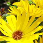 """Yellow Daisy Flowers art prints Daisies"" by BasleeTroutman"