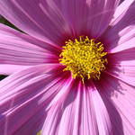 """Daisy Flower Macro Pink Purple Daisies"" by BasleeTroutman"