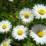 """""""Summer Daisies art prints White Daisy Flowers"""" by BasleeTroutman"""