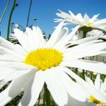 """""""White Daisy Flower Floral art prints Daisies"""" by BasleeTroutman"""