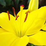 """Lily Flower Yellow Lilies art prints Floral"" by BasleeTroutman"