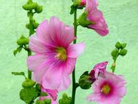 Transylvania Oradea Hollyhocks! Sweet Flowers - Fl
