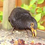 """Blackbird - stopping by for breakfast"" by NatureandWildlife"