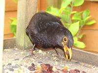 Blackbird - stopping by for breakfast