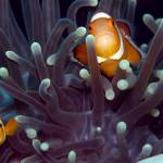 """Clownfish in Anenome"" by JamesBWells"