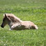 """Baby Miniature Horse_04"" by SBCountyImages"