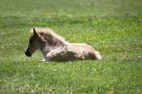 Baby Miniature Horse_04