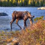 """Moose in Baxter State Park"" by andrewking"