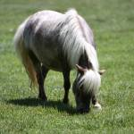 """AdultMiniatureHorse_08"" by SBCountyImages"