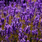 """Lavender"" by vincent-field_photography"